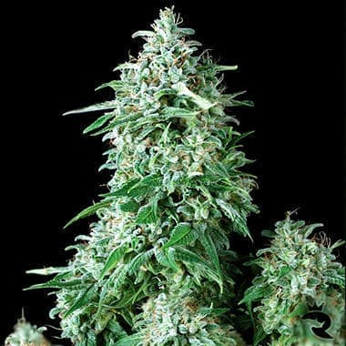 Anubis Seeds