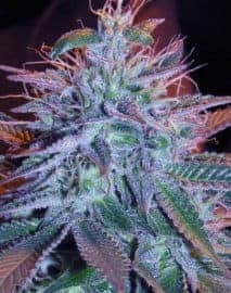 Automatic Blueberry seeds