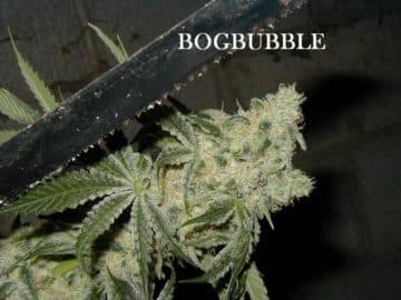 BOGBUBBLE SEEDS