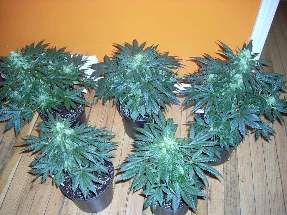 Blue streaks Seeds