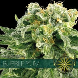 BUBBLE YUM SEEDS