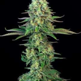 Bogglegum Seeds