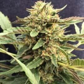 CBD Therapy Seeds