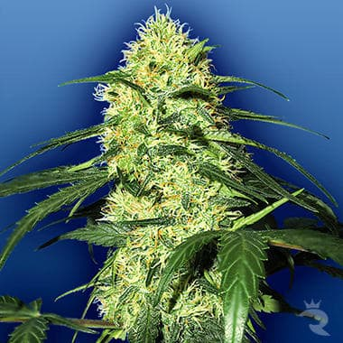 DUTCH DELIGHT SEED