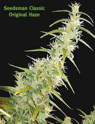 ORIGINAL HAZE SEEDS