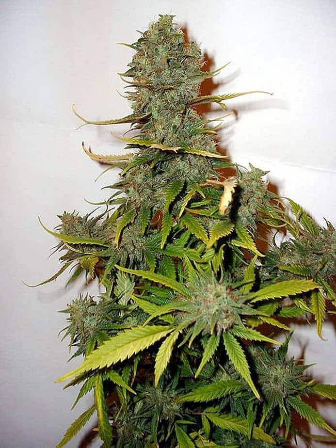 OUTSIDER SEEDS