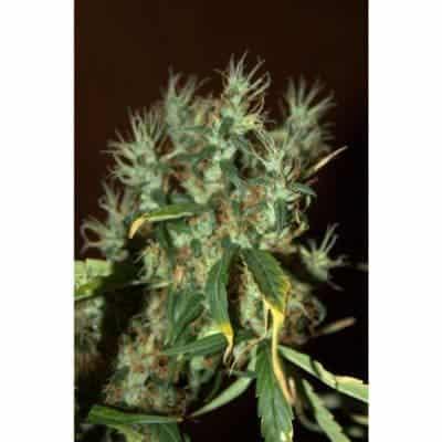 CBD Mango Haze Seeds