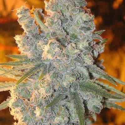 Frost Wreck Seeds