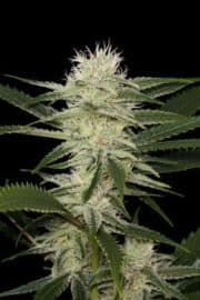 ORIGINAL AMNESIA SEEDS