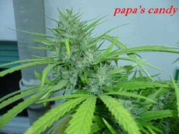 PAPAS CANDY SEEDS