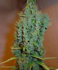 Johnny Blaze Seeds