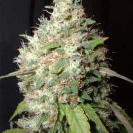 Bubble Cheese Seeds