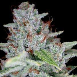 Skywalker Kush Seeds
