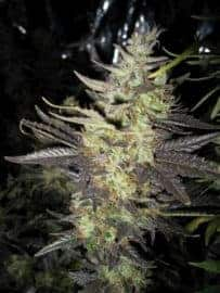 Strawberry Diesel Seeds
