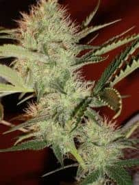 Big Buddha Cheese Seeds