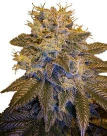 Grapefruit Kush Seeds