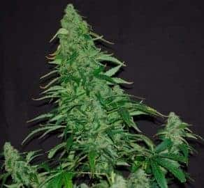 Kush Van Stitch Seeds