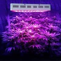 light-indoor-growing-cannabis-plant