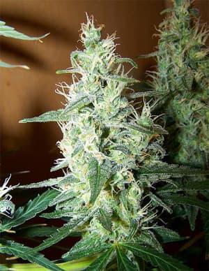 Sour Alien Seeds