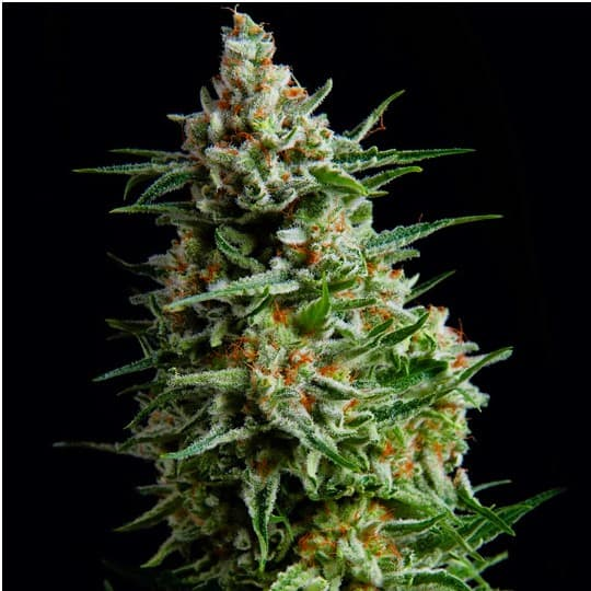 Super Skunk Seeds