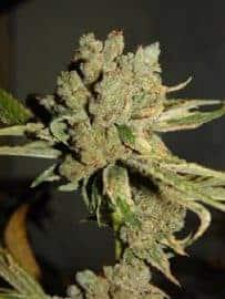 Tahoe Og Seeds
