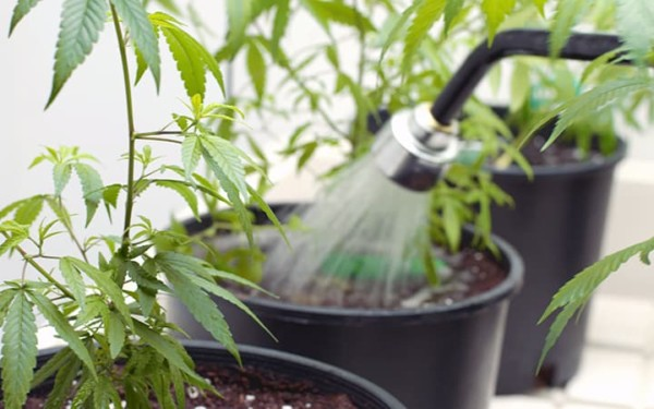 Over-Watered Cannabis Plant