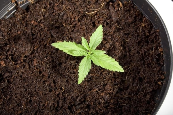 Marijuana Healthy Soil