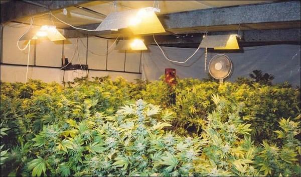 Light Marijuana Indoor