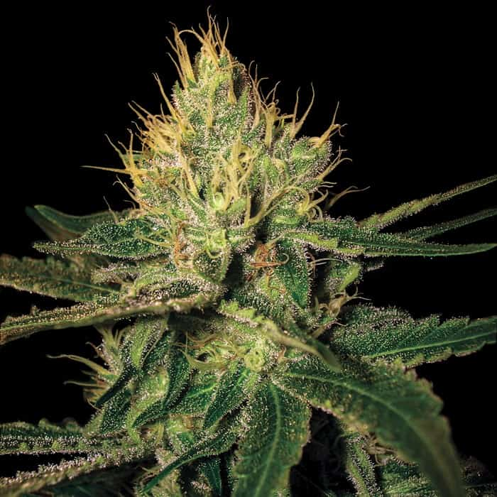 Cannalope Haze Seeds